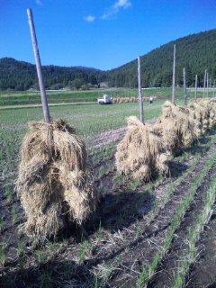 鳴子のお米プロジェクト「ゆきむすび」の田んぼで農作業
